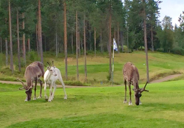 Porot sisältyvät pelimaksuun Arctic Golfissa.