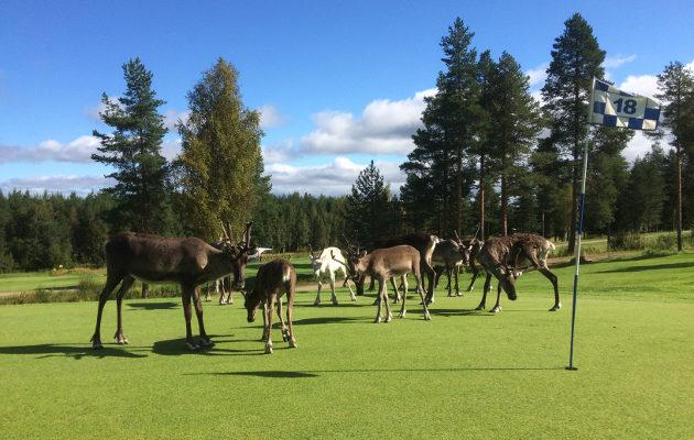 Porot ovat päivittäinen ilmestys Santa Claus Golfin kentällä. Kuva: Arctic Golf Oy